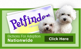 Bichons For Adoption By Nationwide Click Here