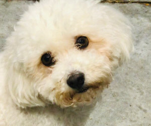 Two Surgeries Needed. One Bichon Is Bleeding. A Letter From His Dogtor/ Holiday Auction Needed Help!