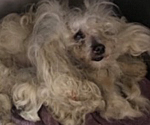 Help Needed ASAP For Bichon Whose Owner Died/Message About Holiday Auction