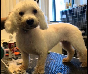 4 Year Old Female Bichon in Horrible Pain. Surgery Needed Tomorrow./ Auction Funds