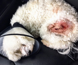 "Eight Precious New Bichons Came in Broken and Sick/ They Are ""Glory Gifts"""