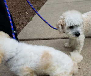 Five Matching Donation Challenges for Recent Bichon Emergencies. Brooks and Dunn.