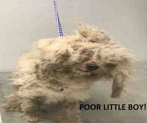 Two Bichons Left in Crates in Empty House in Dallas/ Message On New Bichons & Brooks and Dunn From One of Our Vets/Female Bichon Possibly in Danger from Family Member. Help is Really Needed. Pics.