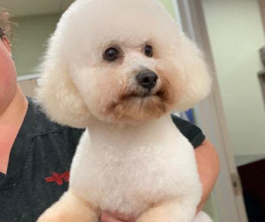 Precious One Year Old Bichon Has a Broken Leg In Houston, TX. Surgery and Help Needed.