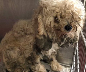 Bungee Update/ It Rained FIVE Bichons and Darling Bichon Mixes Who Need Our Help. See Letter & Pics from Sara Rhodes