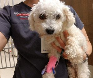 """Tahiti"" Of The ""Tropical Stay-Cation Bichons"" Had To Go To Emergency. Emergency Surgery Is Needed."