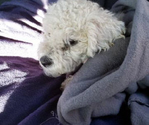 2 Year Old Female Bichon Frise Hit By Car. Medical Emergency. Surgery Needed. Help Needed. Urgent.