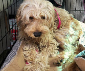 Bracco, Our Little Bichonadoodle, Made It Through Surgery And Is Recovering Well, Thanks To All Of You!