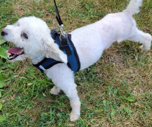 Updates! Bracco, Our Little Bichon-a-Doodle Is Home! /Bamboo, Our Amputee Bichon Is Going For The Gold On His Walks! Video!